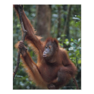 Orangutan Hanging on Liana Poster