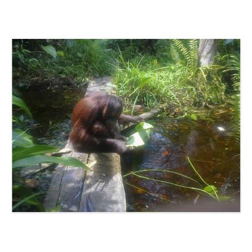 Orangutan in Borneo Forest Post Cards