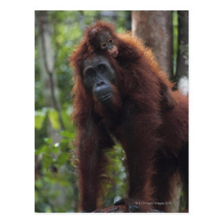 Orangutan Mother with Baby 2 Postcard