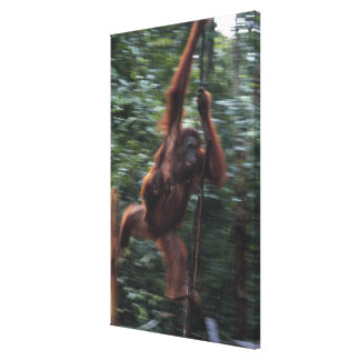 Orangutan Mother with Baby 3 Canvas Print