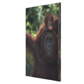 Orangutan Mother with Baby Canvas Print