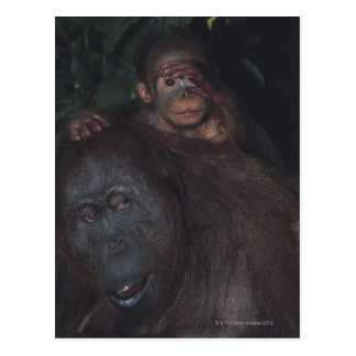Orangutan Mother with Baby Postcard