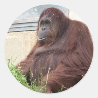 Orangutan Portrait Classic Round Sticker