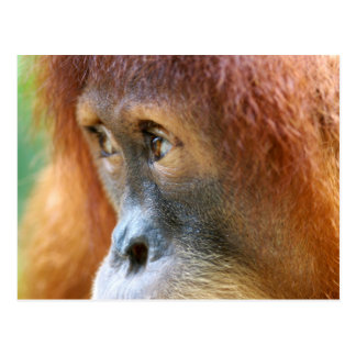 Orangutan Profile Postcard