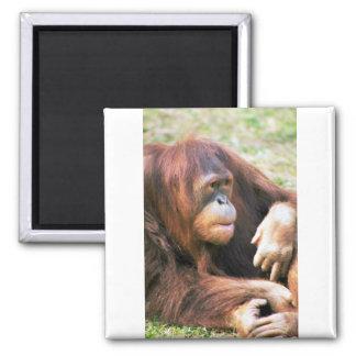 Orangutan Reclining Refrigerator Magnet