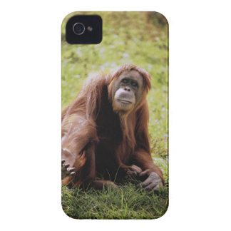 Orangutan sitting on grass and looking at camera iPhone 4 Case-Mate cases