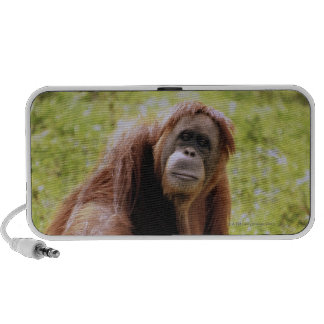 Orangutan sitting on grass and looking at camera notebook speaker