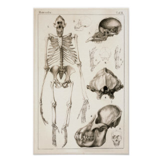 Orangutan Skeleton Skull Veterinary Anatomy Print