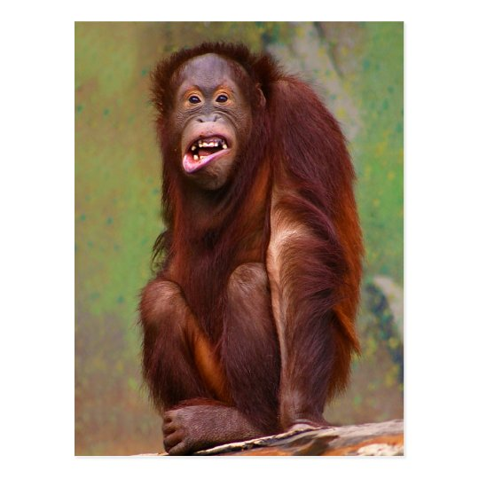 Orangutang Pongo pygmaeus Looking Stupid Postcard