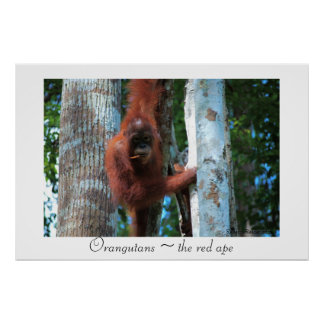 Orangutans the red ape posters