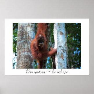 Orangutans  ~  the red ape poster