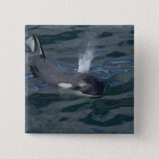 Orca blowing 15 cm square badge