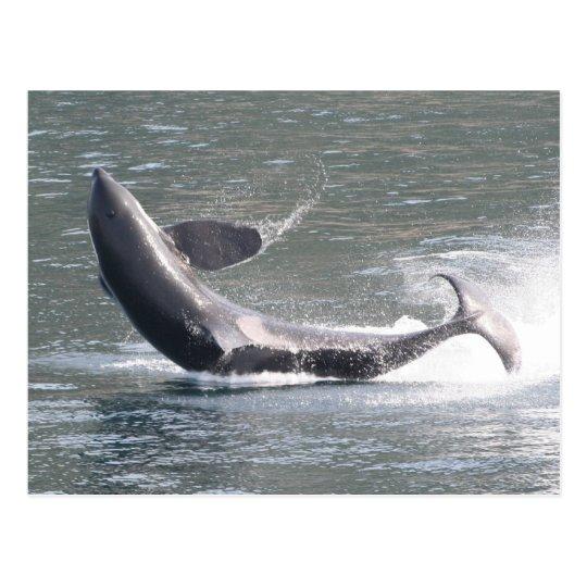 Orca breaching in Alaska Postcard