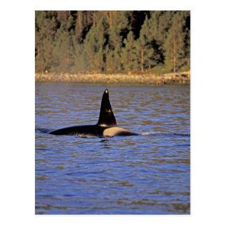 Orca or Killer whale. Postcard
