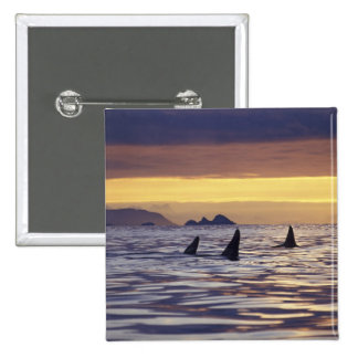 Orca or Killer Whales 15 Cm Square Badge