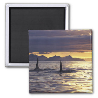 Orca or Killer whales Magnets