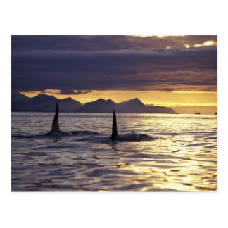 Orca or Killer whales Postcard
