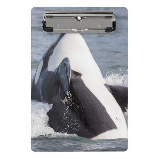 Orca whale breaching