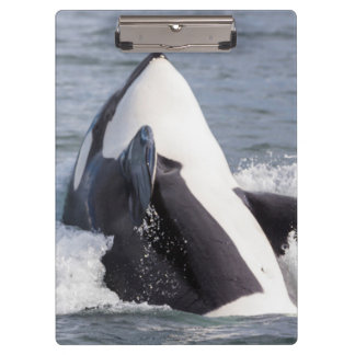 Orca whale breaching clipboard