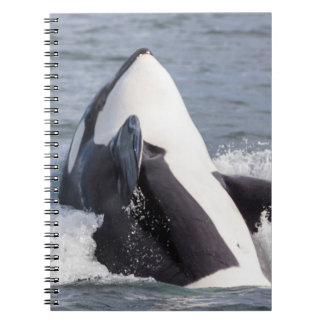 Orca whale breaching spiral notebook
