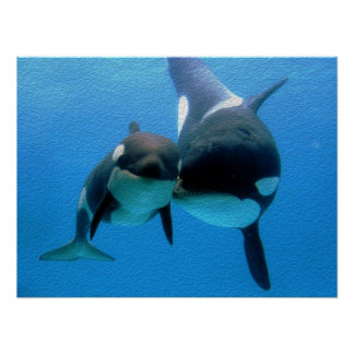 Orca Whale With Calf Poster