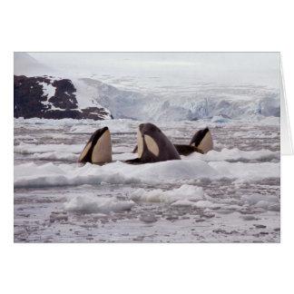 Orcas Spyhopping Card