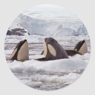 Orcas Spyhopping Sticker