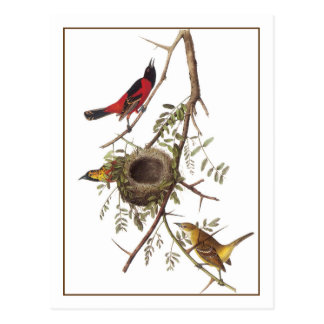 Orchard Oriole Postcard