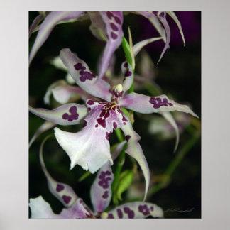 Orchid Beallara Print