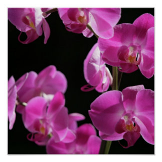 Orchid Blossoms Poster