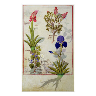 Orchid & Fumitory or Bleeding Heart Hedera & Iris Poster