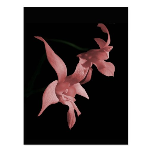 Orchid in Pink Postcard