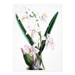 Orchid Laelia Albida, var Rosea Custom Announcement