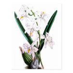 Orchid Laelia Albida, var Rosea Postcard