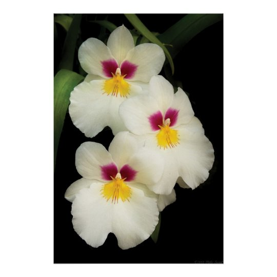 Orchid - Miltoniopsis -  The Three Amigos Poster