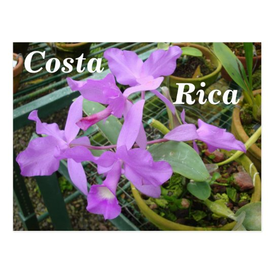 Orchid -- National Flower of Costa Rica Postcard