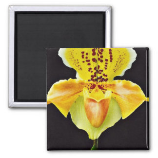 "Orchid Paphiopedlum, ""Golden Crown""  flowers Magnet"
