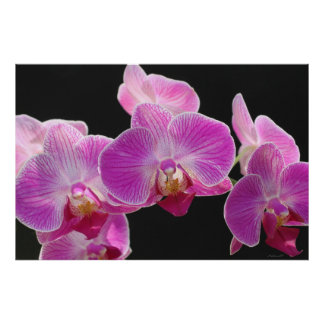 Orchid Phalaenopsis Cluster Poster