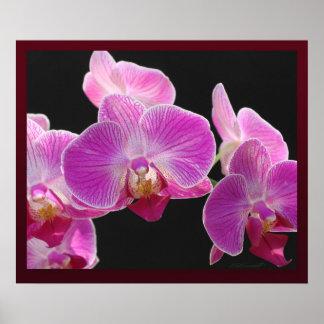 Orchid Phalaenopsis Cluster Print
