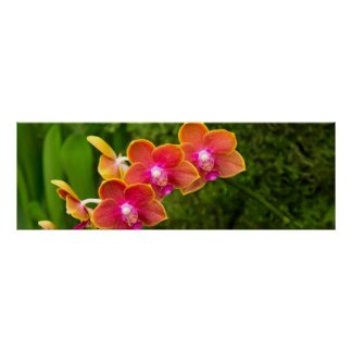 Orchid - Phalaenopsis - Tying Shin Cupid Posters