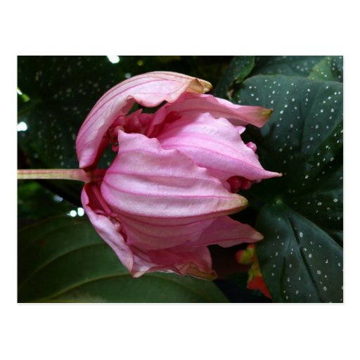 Orchidee Rose (Pink Orchid) - Martinique, FWI Postcards