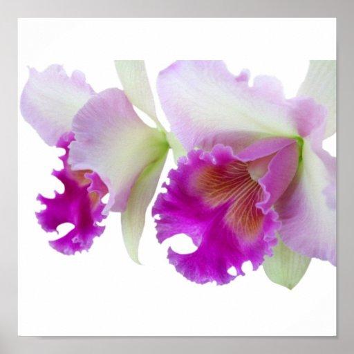 Orchids (Cattleya) Poster