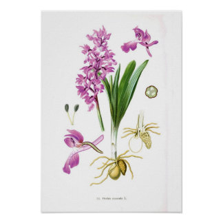 Orchis mascula poster