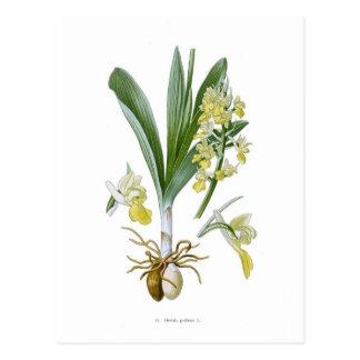 Orchis pallens postcard