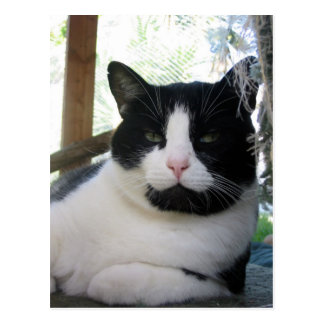 Oreo the cat postcard