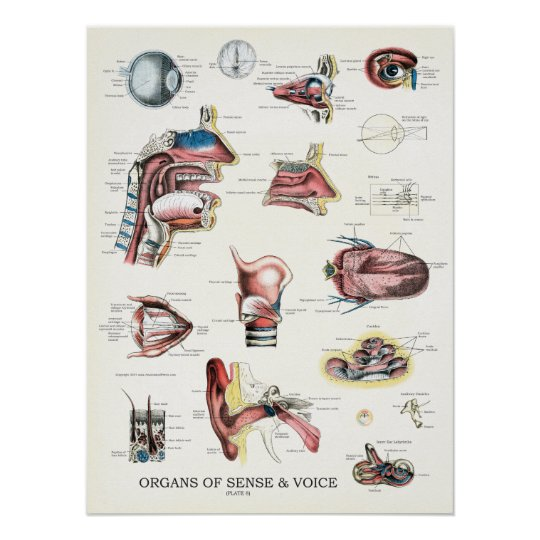 Organs of Sense and Voice Anatomy Poster 18