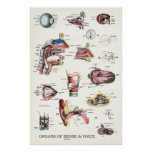 Organs of Sense and Voice Anatomy Poster 24 X 36