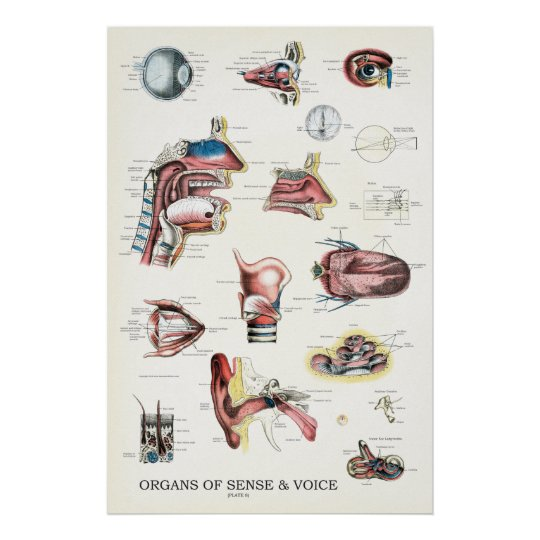Organs of Sense and Voice Anatomy Poster 24