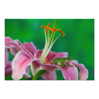 Oriental Lily and Pacific tree frog resting on Photo Print