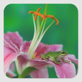 Oriental Lily and Pacific tree frog resting on Square Sticker